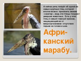 А сейчас речь пойдёт об одной из самых крупных птиц, которой вполне можно при