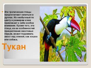Эти тропические птицы предпочитают селиться в дуплах. Их необычный по цвету