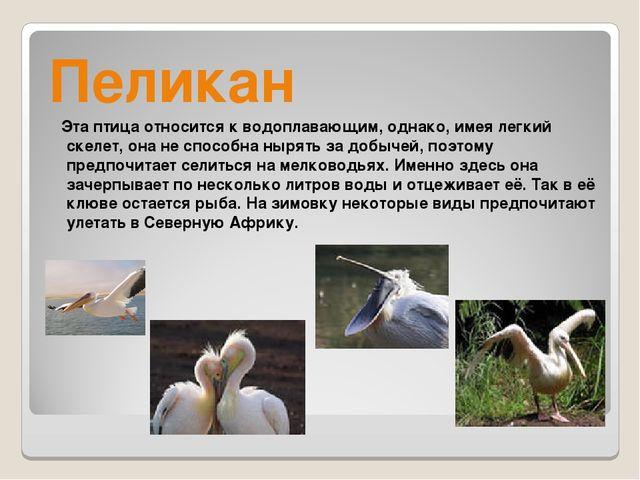 Пеликан Эта птица относится к водоплавающим, однако, имея легкий скелет, она...