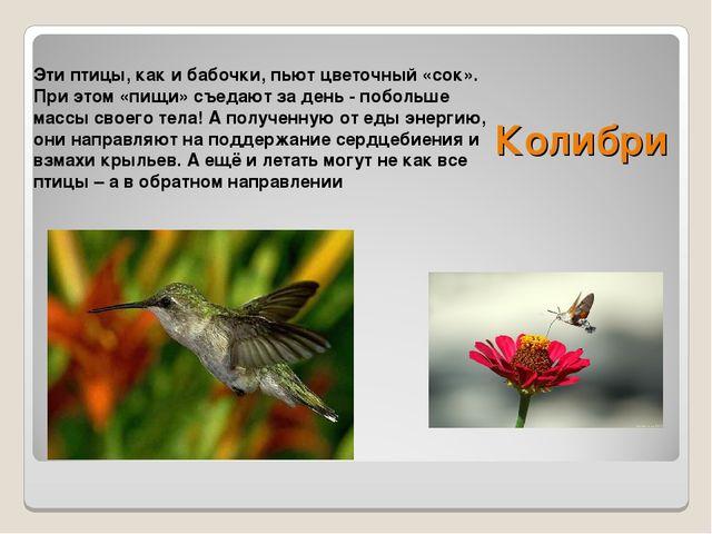 Эти птицы, как и бабочки, пьют цветочный «сок». При этом «пищи» съедают за де...