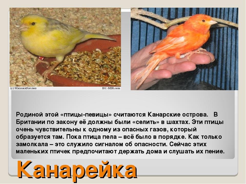 Родиной этой «птицы-певицы» считаются Канарские острова. В Британии по закону...