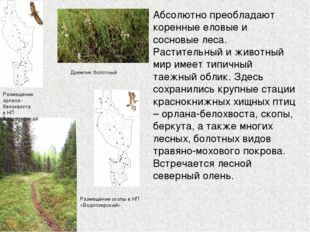 Абсолютно преобладают коренные еловые и сосновые леса. Растительный и животны