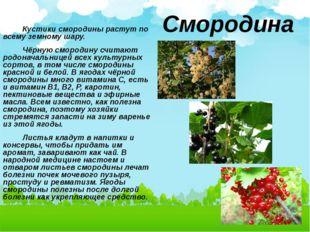 Кустики смородины растут по всему земному шару. Чёрную смородину считают род