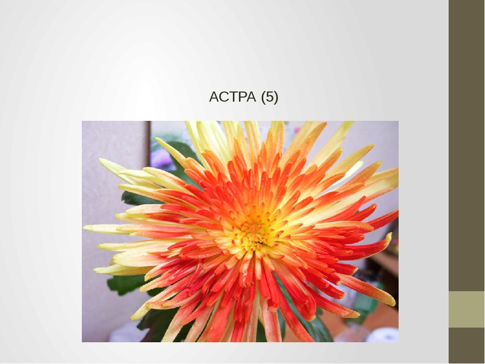 АСТРА (5)