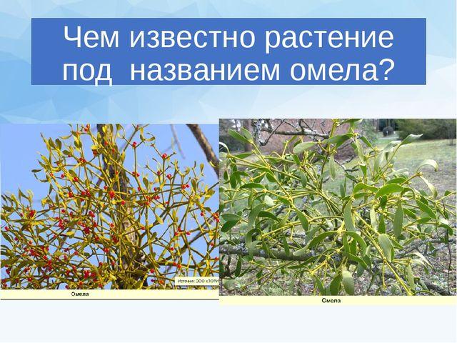 Чем известно растение под названием омела?