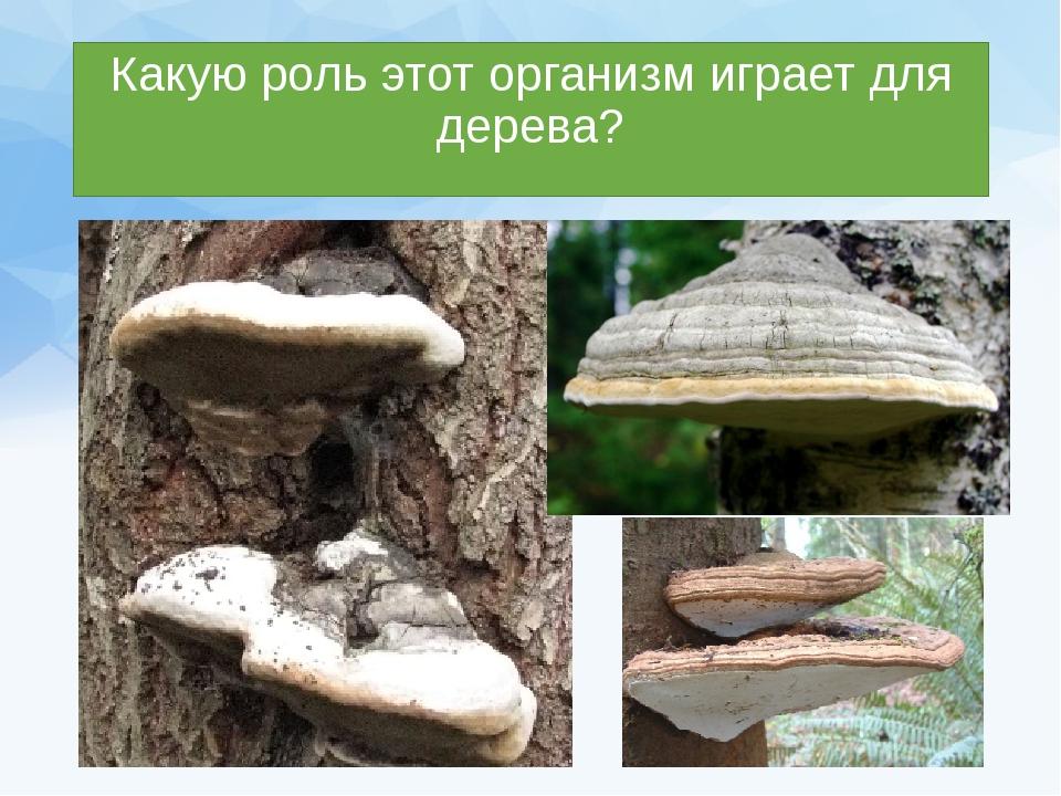Какую роль этот организм играет для дерева?