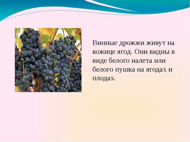 Винные дрожжи живут на кожице ягод. Они видны в виде белого налета или белог...