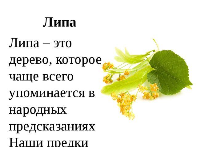 Липа Липа – это дерево, которое чаще всего упоминается в народных предсказани...
