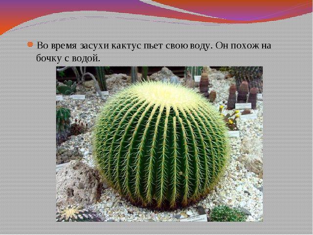 Во время засухи кактус пьет свою воду. Он похож на бочку с водой.