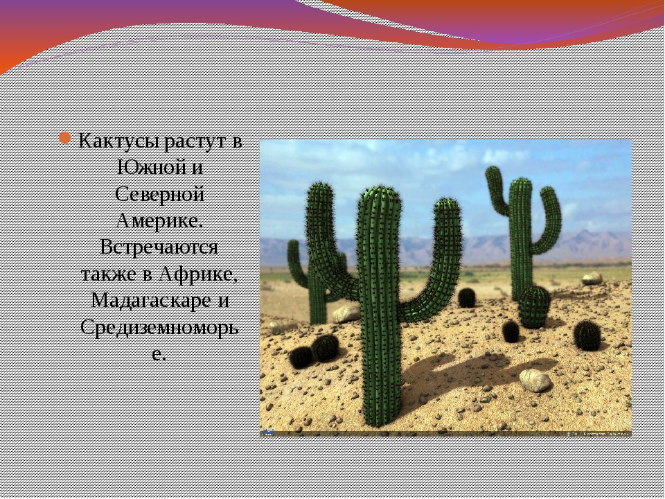 Кактусы растут в Южной и Северной Америке. Встречаются также в Африке, Мадага...