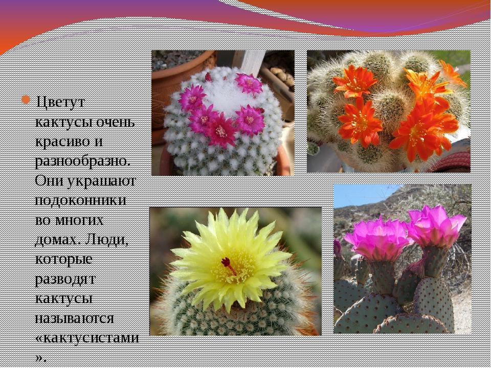 Цветут кактусы очень красиво и разнообразно. Они украшают подоконники во мног...