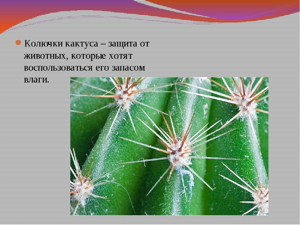 Колючки кактуса – защита от животных, которые хотят воспользоваться его запас...