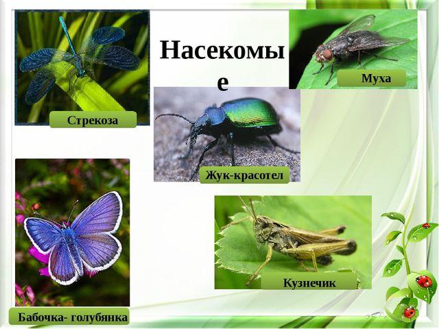 Насекомые Стрекоза Муха Бабочка- голубянка Жук-красотел Кузнечик