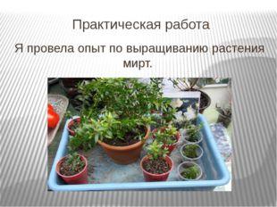 Практическая работа Я провела опыт по выращиванию растения мирт.