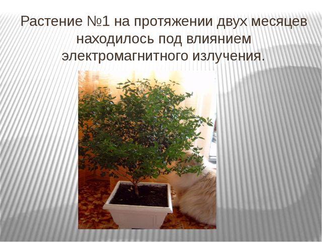 Растение №1 на протяжении двух месяцев находилось под влиянием электромагнитн...