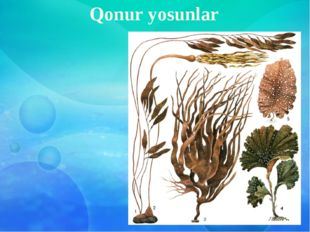 Qonur yosunlar