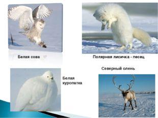 Белая сова Полярная лисичка - песец Белая куропатка Северный олень