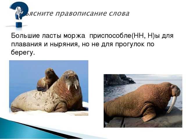 Большие ласты моржа приспособле(НН, Н)ы для плавания и ныряния, но не для про...