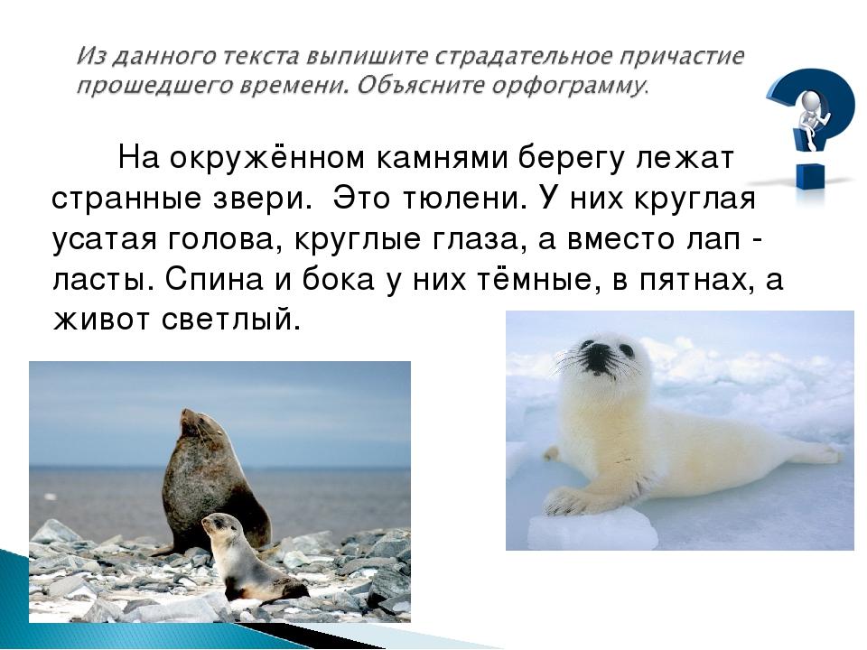 На окружённом камнями берегу лежат странные звери. Это тюлени. У них круглая...