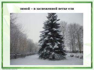 зимой – в заснеженной ветке ели