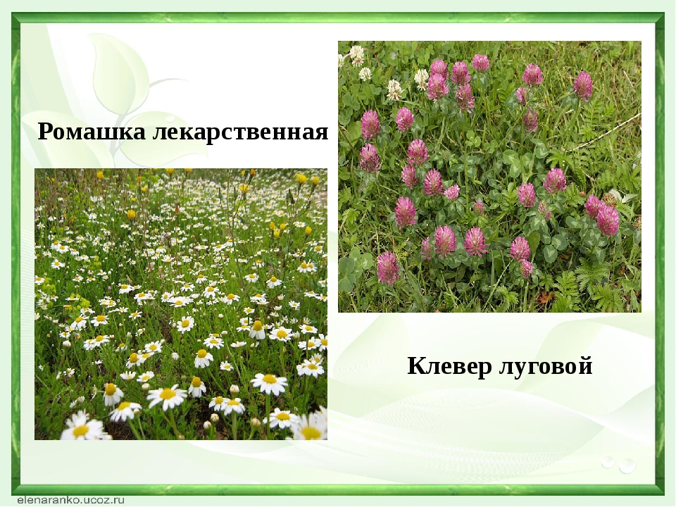 Ромашка лекарственная Клевер луговой