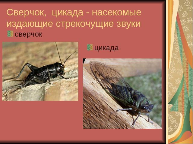 Сверчок, цикада - насекомые издающие стрекочущие звуки сверчок цикада