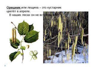 Орешникили лещина – это кустарник цветёт в апреле.  В наших лесах он не вс