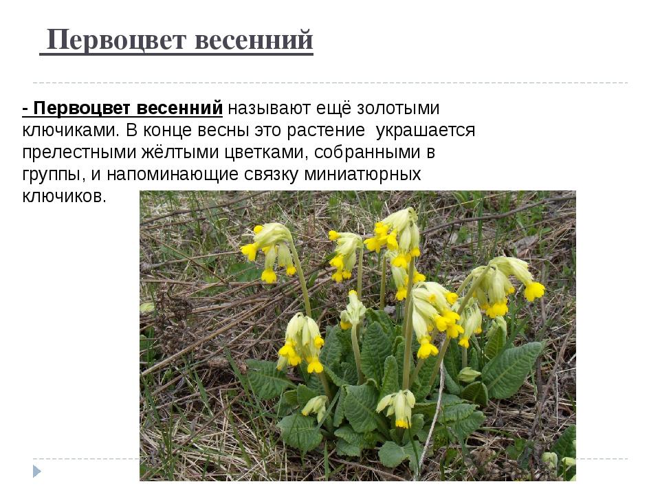 Первоцвет весенний - Первоцвет весеннийназывают ещё золотыми ключиками. В к...