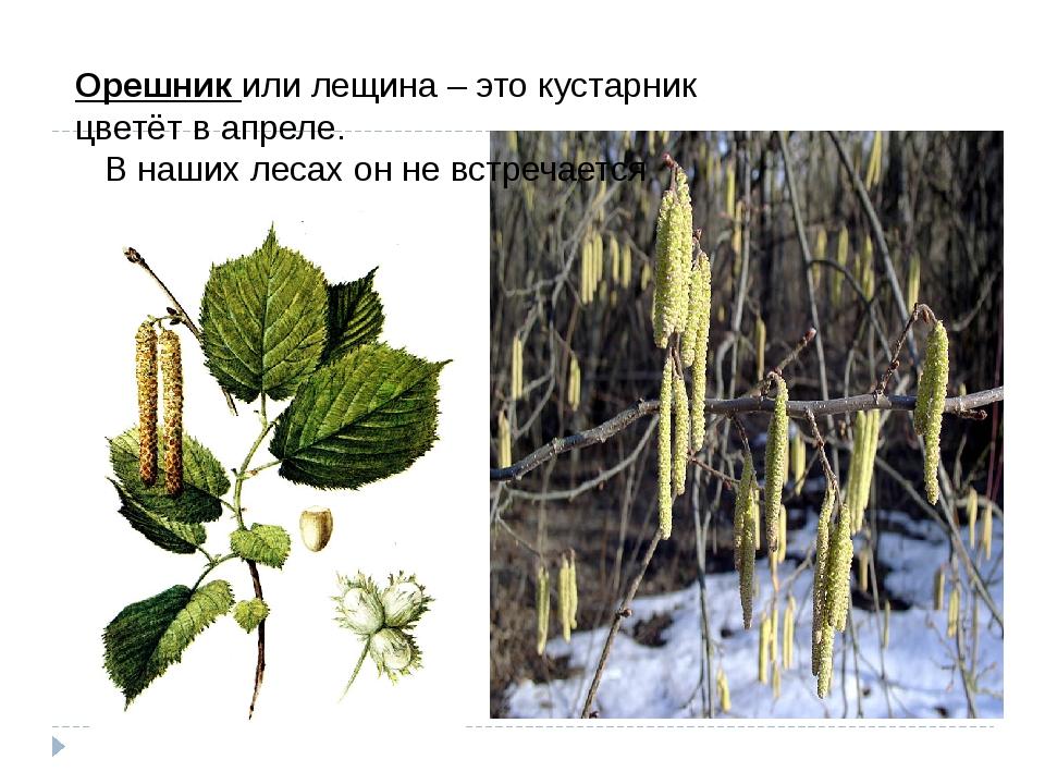 Орешникили лещина – это кустарник цветёт в апреле.  В наших лесах он не вс...