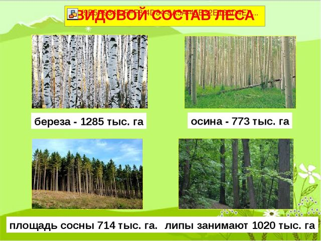 береза - 1285 тыс. га липы занимают 1020 тыс. га осина - 773 тыс. га площадь...