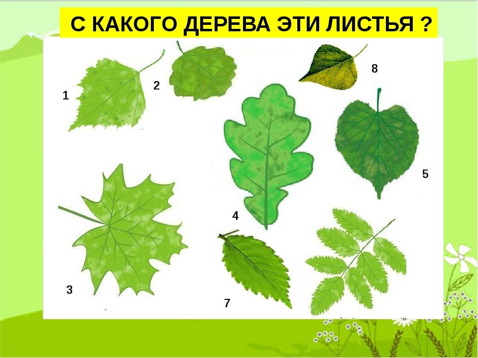 видно, деревья и их листья картинки и названия дидактических очень люблю