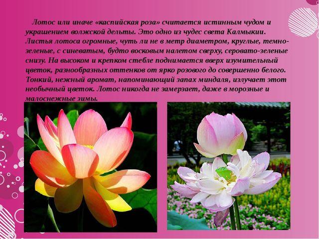 Лотос или иначе «каспийская роза» считается истинным чудом и украшением волж...