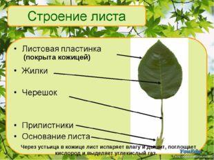 Через устьица в кожице лист испаряет влагу и дышит, поглощает кислород и выд