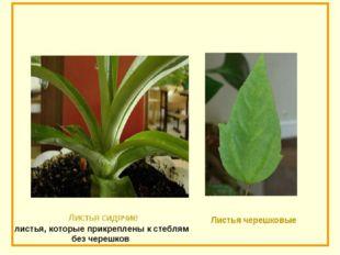 листья, которые прикреплены к стеблям без черешков