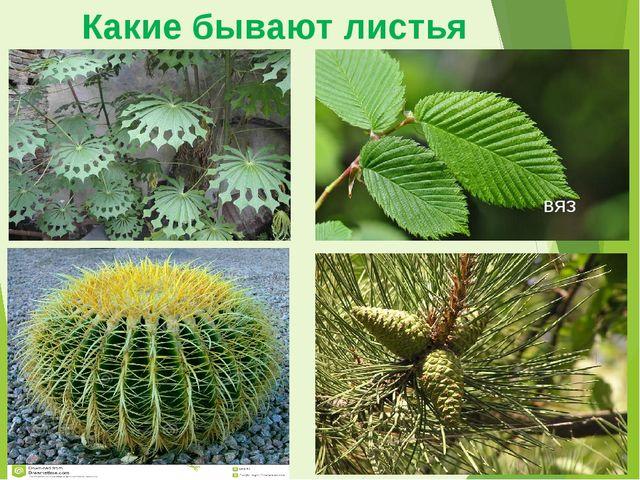 Какие бывают листья вяз