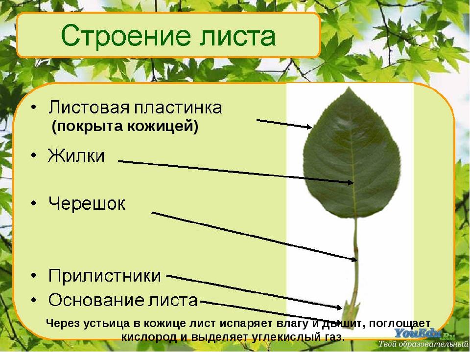 Через устьица в кожице лист испаряет влагу и дышит, поглощает кислород и выд...
