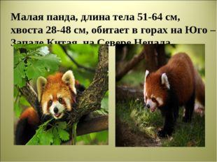 Малая панда, длина тела 51-64 см, хвоста 28-48 см, обитает в горах на Юго –За