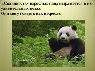 «Солидность» взрослых панд выражается в их удивительных позах. Они могут сид