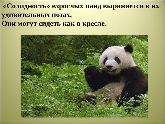 «Солидность» взрослых панд выражается в их удивительных позах. Они могут сид...