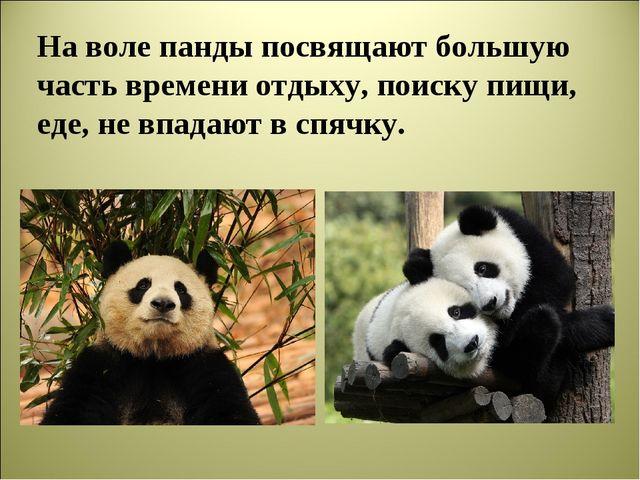 На воле панды посвящают большую часть времени отдыху, поиску пищи, еде, не вп...