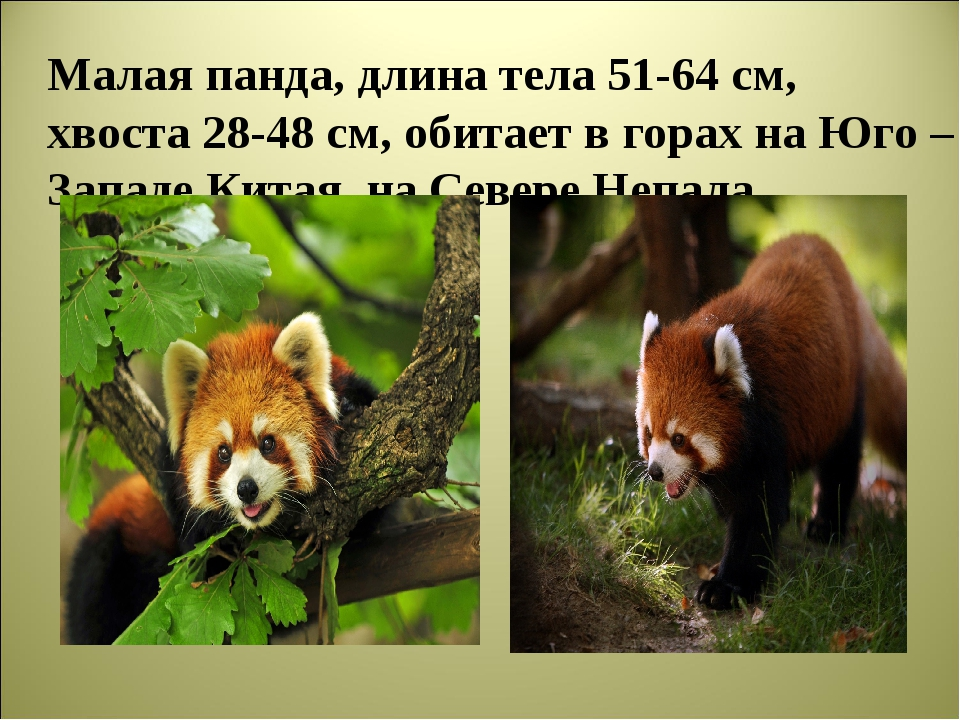 Малая панда, длина тела 51-64 см, хвоста 28-48 см, обитает в горах на Юго –За...
