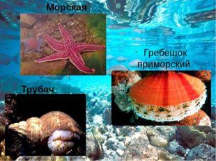 Морская звезда Гребешок приморский Трубач