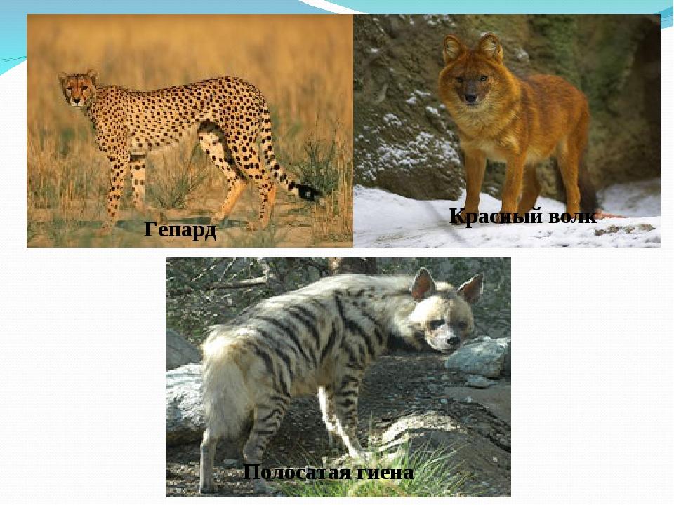 снежный барс Полосатая гиена Гепард Красный волк Полосатая гиена