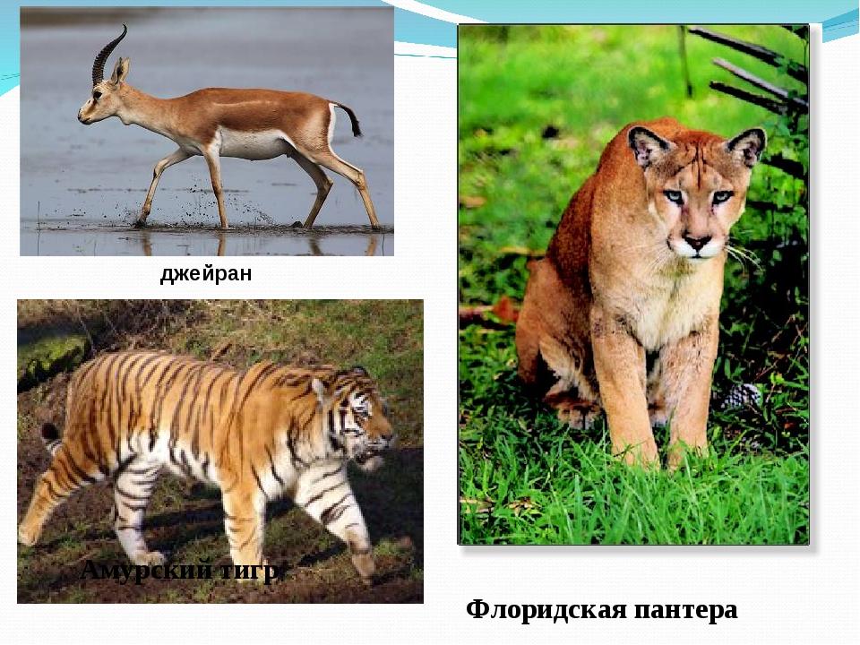 джейран Амурский тигр Флоридская пантера