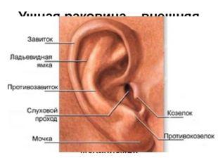 Ушная раковина – внешняя часть уха В планеакустикипрофиль ушной раковины им