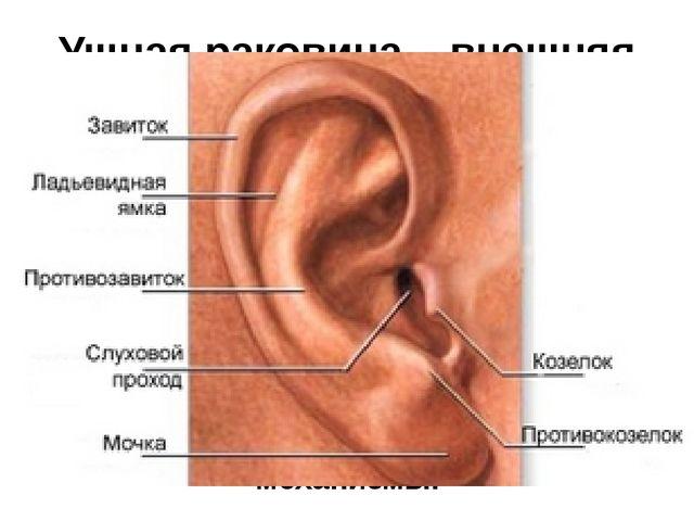 Ушная раковина – внешняя часть уха В планеакустикипрофиль ушной раковины им...