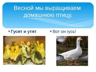Весной мы выращиваем домашнюю птицу. Гусят и утят Вот он гусь!