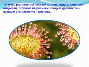 У этого растения на листках хорошо видны капельки жидкости, похожие на росин
