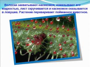 Волоски захватывают насекомое, измазывают его жидкостью, лист скручивается и