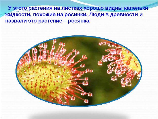 У этого растения на листках хорошо видны капельки жидкости, похожие на росин...